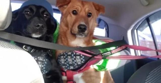 Бездомный пёс, на протяжении нескольких месяцев помогал домашнему собрату, выживать на улице