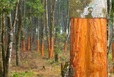 tarçın ağacı ne kadar dayanır