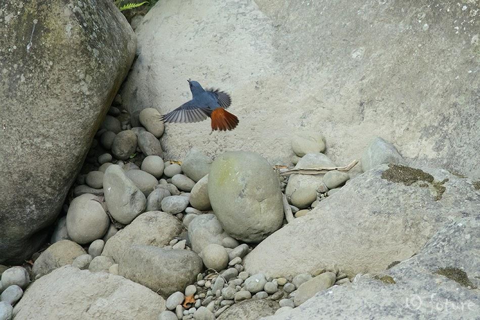 Jõgi-lepalind, Phoenicurus fuliginosus affinis, Plumbeous Water Redstart, robin, Rhyacornis fuliginosa