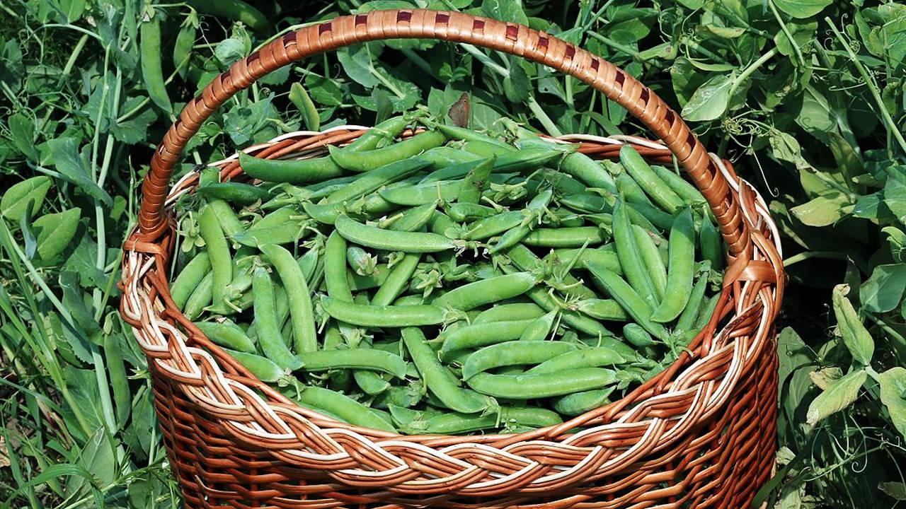 Manfaat Kacang Buncis Bagi Kesehatan Beserta Kandungan Gizinya