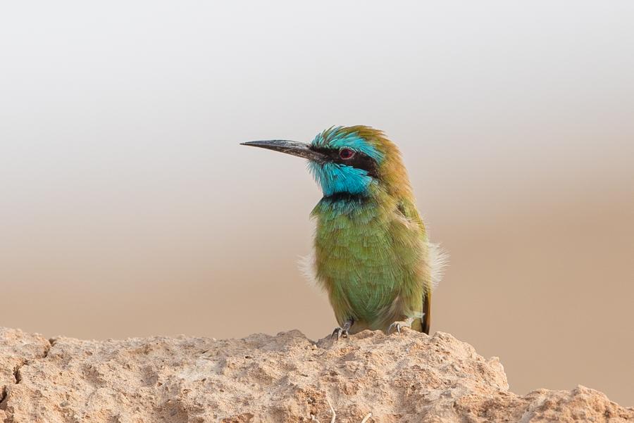 Arabian Bee-eater