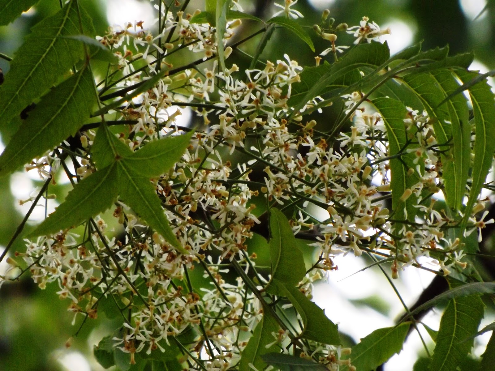 Neem azadirachta indica flowers are small white and sweet scented in axillary bunch of panicles flower blooms in march april neem tree is andromonoecious mightylinksfo