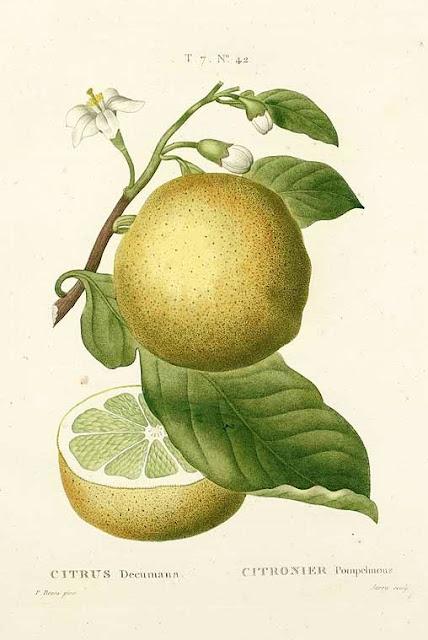 Pomelo, pompela, pomarańcza olbrzymia (Citrus maxima) - opis i uprawa, jak pielęgnować, hodować pomelo w domu, na tarasie na balkonie. Nazwa, historia, pochodzenie, wygląd, kwiaty, pokrój, podlewanie, ziemia. Jak podewać, zimować shaddocka?