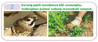 burung pipit membawa biji semangka. Sedangkan petani sedang mencabuti rumput. www.simplenews.me