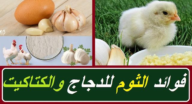 """""""فوائد الثوم للدجاج"""" """"فائدة الثوم للدجاج"""" """"فوائد الثوم والليمون للدجاج"""" """"ما فوائد الثوم للدجاج"""" """"ماهي فوائد الثوم للدجاج"""" """"فوائد الليمون والثوم للدجاج"""" """"فوائد الثوم للدجاج اللاحم"""" """"فوائد الثوم للدجاج البياض"""" """"فوائد الثوم للدواجن"""" """"فوائد الثوم للدجاج البلدي"""" """"فوائد الثوم للفراخ"""" """"فوائد الثوم الصحيه"""" """"فوائد الثوم الدجاج"""" """"فوائد الثوم والبصل والليمون للدجاج"""" """"فوائد البصل والثوم والليمون للدجاج"""" """"فوائد الثوم والليمون للدواجن"""" """"فوائد الثوم والليمون للفراخ البيضاء"""" """"فوائد الثوم والليمون للطيور"""" """"ما فائدة الثوم للدجاج"""" """"ماهي فوائد البصل للدجاج"""" """"فوائد الليمون للدجاج"""" """"فوائد الثوم والليمون معا"""" """"فوائد الثوم للكتاكيت"""""""