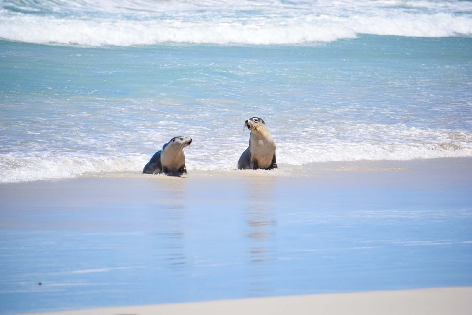 seals at seal bay conservation park