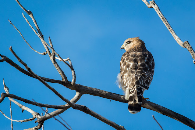 Red-Shouldered Hawk, Spring Creek Forest Preserve