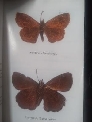 Mariposa saltarina boca blanca (Staphylus aurocapilla)