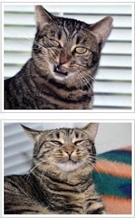 Tabby Cat Growling