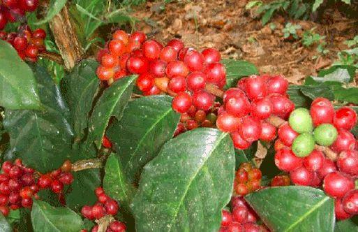 contoh gambar tanaman kopi