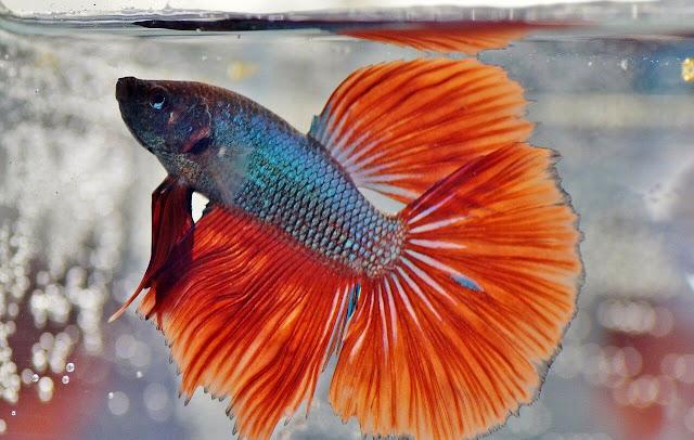 Harga Ikan Cupang Hias Terbaru Berdasarkan Jenisnya