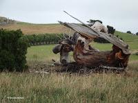Old stump, Kaikoura Peninsula - South Island, New Zealand