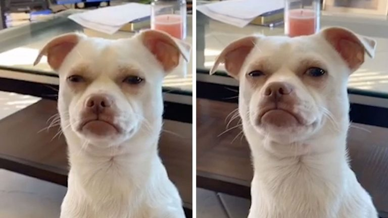 This pooch has a face that features an uncanny resemblance to a human's giving a suspicious look