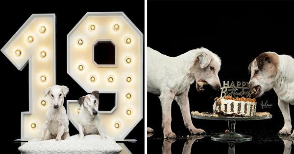 Hermanos Jack Russell perros celebran 19 cumpleaños