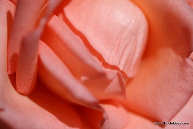 Sun lighted rose closeup detail
