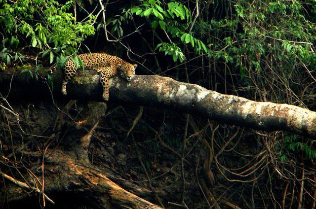 onça-pintada - Panthera onca - Amazonia