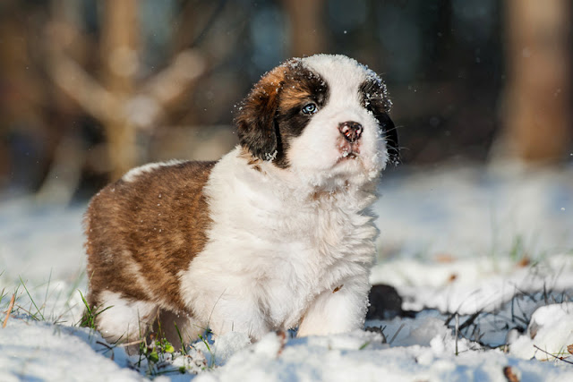 A St. Bernard puppy in the snow... why puppies should go to puppy class