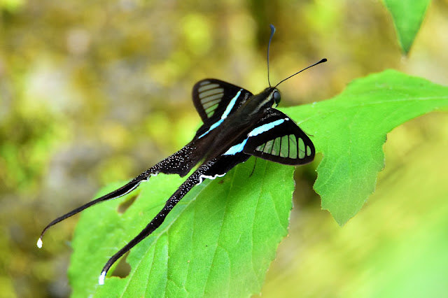 This is one of nature's best insects, the Dragon Tail Butterfly.