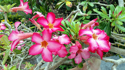 Desert Rose flowers in large planter