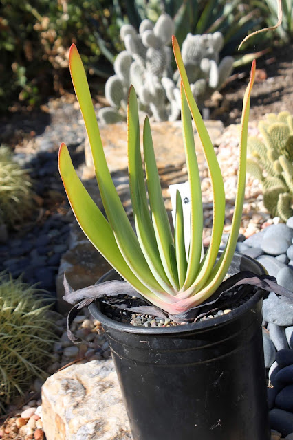 Aloe plicatilis in a one gallon pot