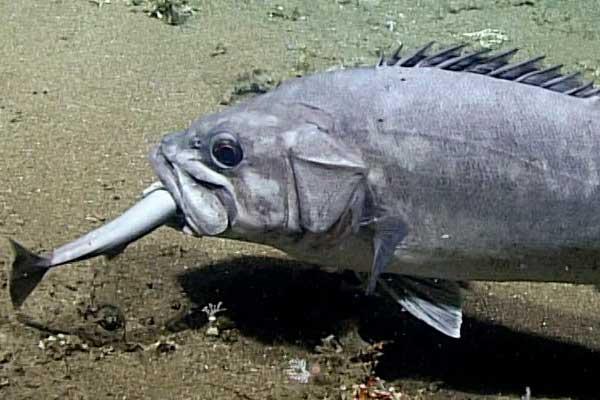 Cientistas capturam imagens de peixe devorando um tubarão inteiro