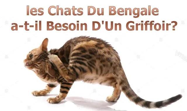 les Chats Du Bengale a-t-il Besoin D'Un Griffoir?