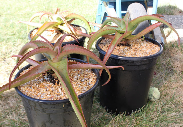 Aloe vanbalenii in 5 gal pots