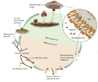 perkembang biakan jamur, penyebaran jamur