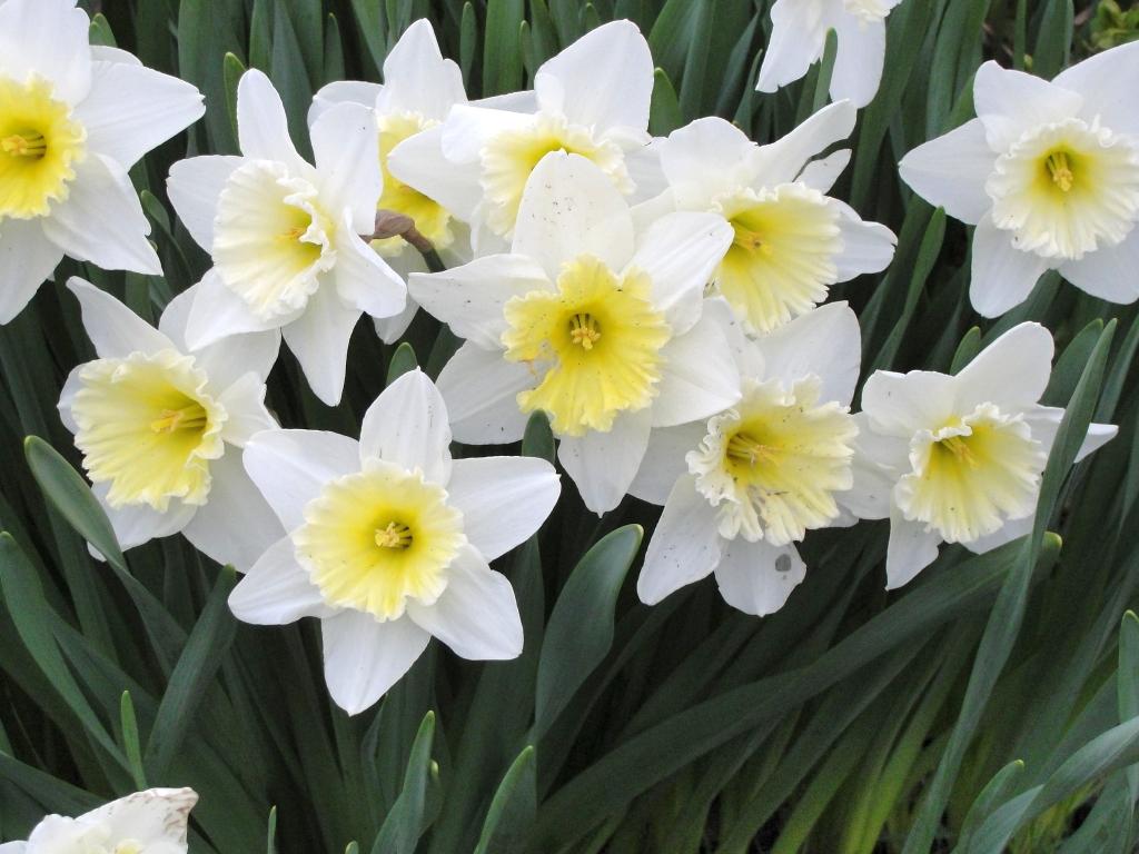 Daffodils Wallpaper Hd Romantic Flowers Narcissus Flower