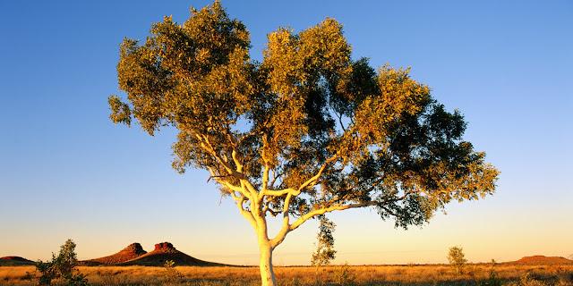 Ciri Ciri Pohon Eucalyptus