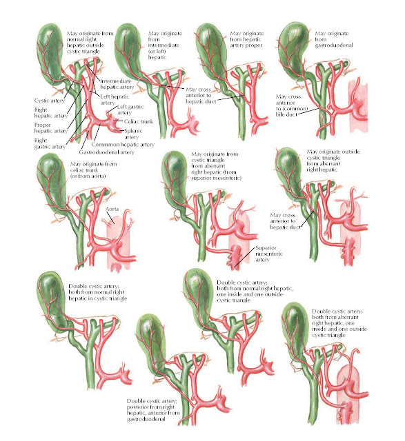 Variations in Cystic Arteries Anatomy