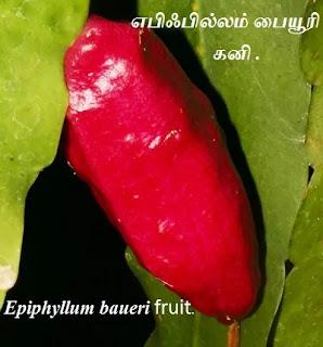 Epiphyllum baueri fruit