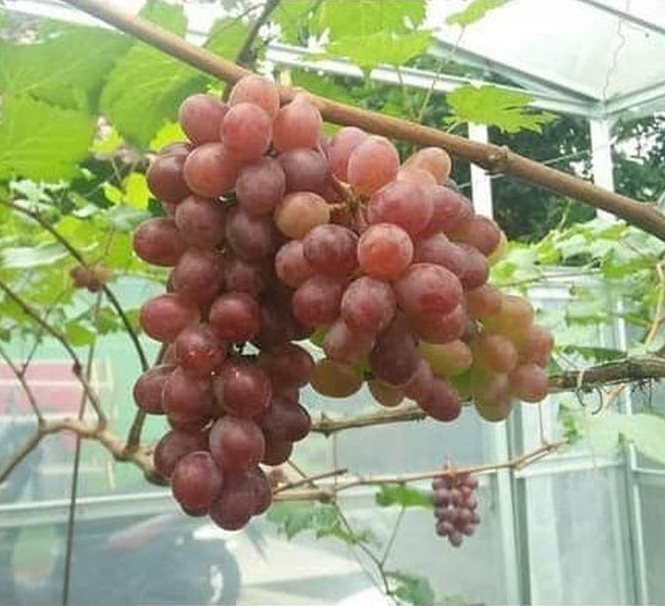 Tanaman Bibit Buah Anggur Import Jupiter Seedless Grafting okulasi cepat berbuah Sumatra Barat
