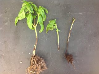A photo of basil plants with brown stem lesions