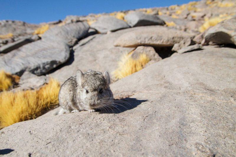 Detectan chinchillas de cola corta en la Región de Atacama