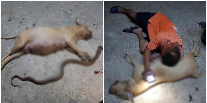 Menyedihkan, Anjing Ini Mati karena Lindungi Pemiliknya dari Ular Kobra