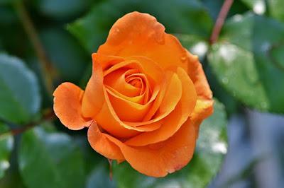 Hoa hồng đẹp nhất thế giới tặng người yêu 4