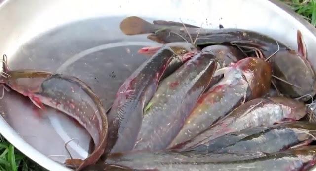 5 Bahan, Tips, & Cara Menghilangkan Lendir dan Bau Amis Ikan Lele