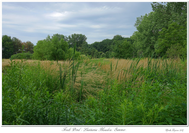 Fresh Pond: Lusitania Meadow. Summer.