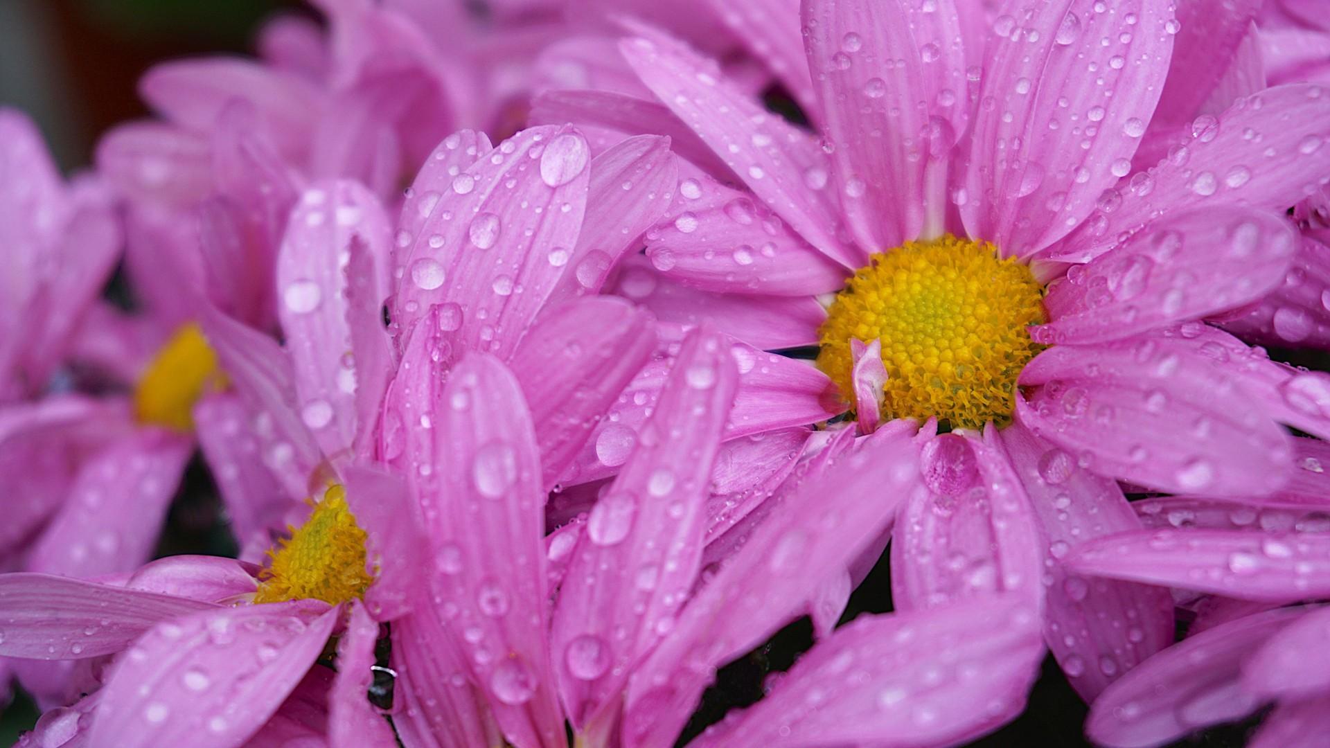 pink daisies flowers with water drop 4k HD flowers