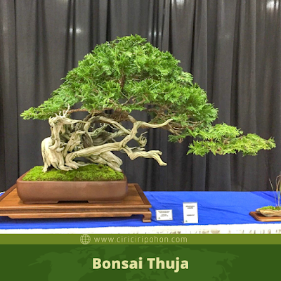 Bonsai Thuja