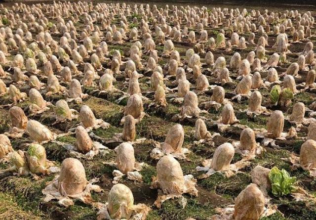 Bikin Merinding, Netizen Digegerkan Foto Telur Alien di Ladang Jepang, Ternyata Ini Fakta di Baliknya