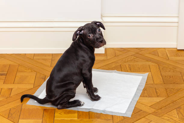 House Training a Pitbull – Step by Step