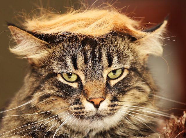 #TrumpYourCat by jillccarlson from flickr (CC-BY)