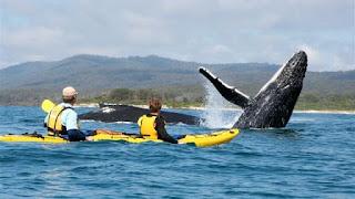 kayaking di kelilingi ikan paus