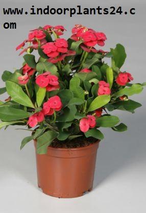 Euphorbia Milii var Splendens Euphorbiaceae plant