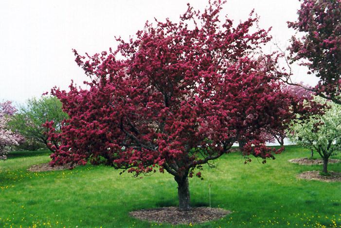 Cuidados malus pomera sagarrondo maci eira verde jard n for Arboles para jardin de hoja perenne