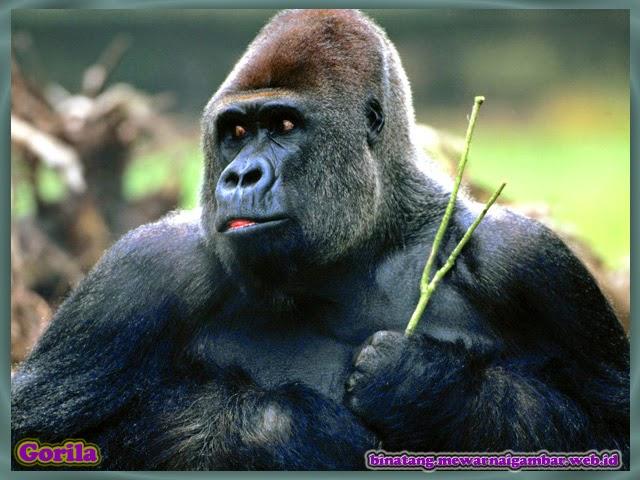 gambar hewan primata gorila