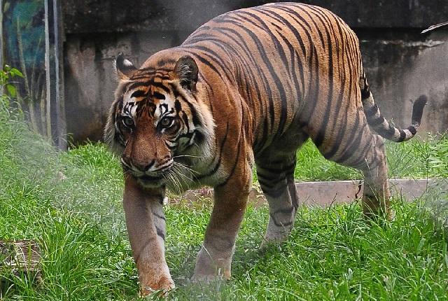 Gambar fauna harimau sumatera