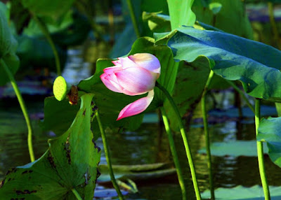 Lotus- a distinctive icon of Vietnamese culture 2